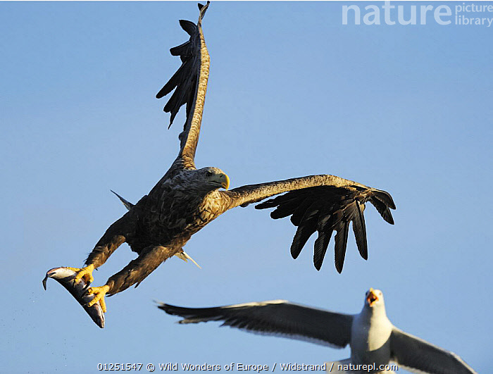White tailed sea eagle (Haliaeetus albicilla) in flight carrying fish being mobbed by a Greater black backed gull (Larus maritimus) Flatanger, Nord Tr�ndelag, Norway, August 2008  ,  BEHAVIOUR,BIRDS,BIRDS OF PREY,EAGLES,EUROPE,FISH,FLYING,GULLS,mobbing,NORWAY,PREDATION,SCANDINAVIA,SEABIRDS,Staffan Widstrand,VERTEBRATES,WWE, Scandinavia,Raptor  ,  Wild Wonders of Europe / Widstrand