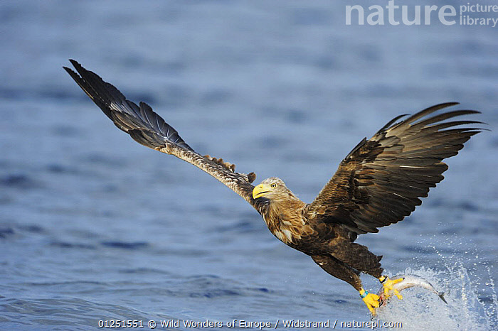 White tailed sea eagle (Haliaeetus albicilla) in flight just after having caught fish, Flatanger, Nord Tr�ndelag, Norway, August 2008  ,  BEHAVIOUR,BIRDS,BIRDS OF PREY,EAGLES,EUROPE,FISH,FISHING,FLYING,HUNTING,NORWAY,PREDATION,SCANDINAVIA,Staffan Widstrand,VERTEBRATES,WWE, Scandinavia,Raptor  ,  Wild Wonders of Europe / Widstrand