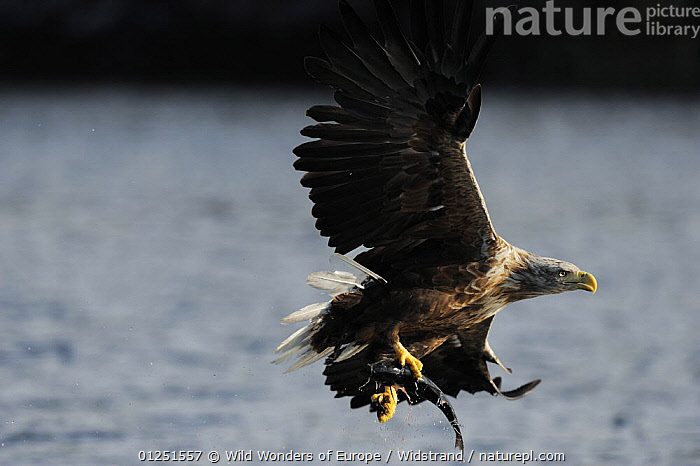 White tailed sea eagle (Haliaeetus albicilla) in flight with fish, Flatanger, Nord Tr�ndelag, Norway, August 2008  ,  BEHAVIOUR,BIRDS,BIRDS OF PREY,EAGLES,EUROPE,FISH,FISHING,FLYING,HUNTING,NORWAY,PREDATION,SCANDINAVIA,Staffan Widstrand,VERTEBRATES,WWE, Scandinavia,Raptor  ,  Wild Wonders of Europe / Widstrand