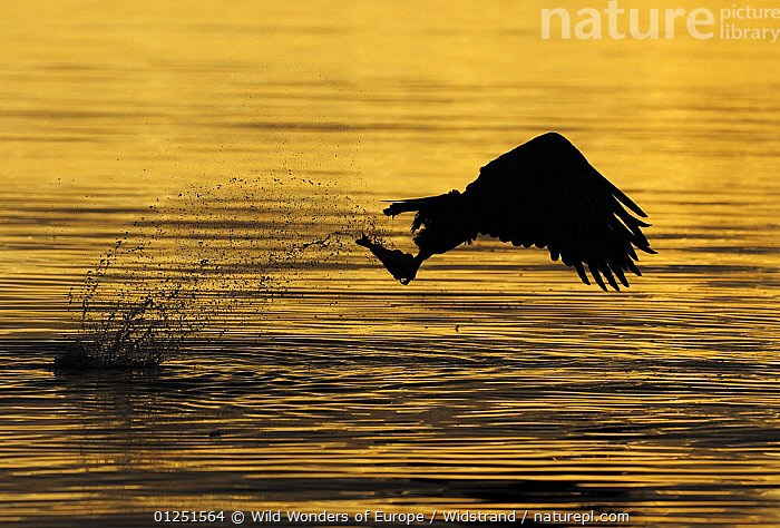 White tailed sea eagle (Haliaeetus albicilla) in flight just after catching fish at sunset, Flatanger, Nord Tr�ndelag, Norway, August 2008  ,  BIRDS,BIRDS OF PREY,EAGLES,EUROPE,FISHING,HUNTING,NORWAY,ORANGE,PREDATION,SCANDINAVIA,SILHOUETTES,SPRAY,Staffan Widstrand,VERTEBRATES,WWE, Scandinavia,Behaviour,Raptor  ,  Wild Wonders of Europe / Widstrand
