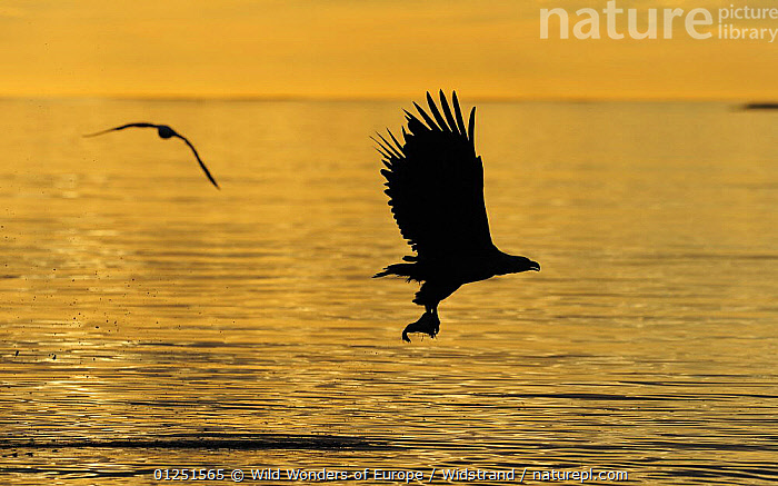 White tailed sea eagle (Haliaeetus albicilla) in flght carrying fish silhouetted at sunset, Flatanger, Nord Tr�ndelag, Norway, August 2008  ,  BIRDS,BIRDS OF PREY,EAGLES,EUROPE,FISH,FLYING,GULLS,MIXED SPECIES,NORWAY,ORANGE,PREDATION,SCANDINAVIA,SEABIRDS,SILHOUETTES,Staffan Widstrand,VERTEBRATES,WWE, Scandinavia,Behaviour,Raptor  ,  Wild Wonders of Europe / Widstrand