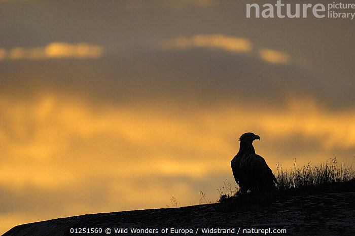 White tailed sea eagle (Haliaeetus albicilla) on ground silhouetted against orange sky, Flatanger, Nord Tr�ndelag, Norway, August 2008  ,  BIRDS,BIRDS OF PREY,EAGLES,EUROPE,NORWAY,ORANGE,SCANDINAVIA,SILHOUETTES,Staffan Widstrand,VERTEBRATES,WWE, Scandinavia,Raptor  ,  Wild Wonders of Europe / Widstrand