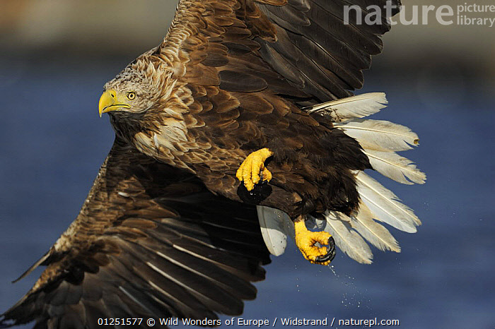 White tailed sea eagle (Haliaeetus albicilla) colse up in flight, Flatanger, Nord Tr�ndelag, Norway, August 2008  ,  BIRDS,BIRDS OF PREY,EAGLES,EUROPE,FLYING,NORWAY,SCANDINAVIA,Staffan Widstrand,VERTEBRATES,WWE, Scandinavia,Raptor  ,  Wild Wonders of Europe / Widstrand