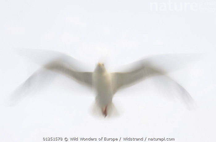Herring gull (Larus argentatus) in flight, Flatanger, Nord Tr�ndelag, Norway, August 2008  ,  ABSTRACT,ARTY SHOTS,BIRDS,Blurred,EUROPE,FLYING,GULLS,LOW ANGLE SHOT,MOVEMENT,NORWAY,SCANDINAVIA,SEABIRDS,Staffan Widstrand,VERTEBRATES,WINGS,WWE, Scandinavia, Scandinavia  ,  Wild Wonders of Europe / Widstrand