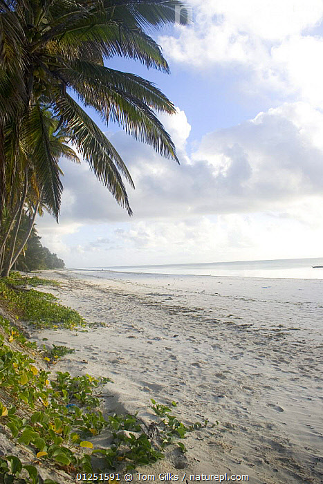 Beach at Bwejuu, Zanzibar, Tanzania. August 2008.  ,  AFRICA,BEACHES,COASTS,EAST AFRICA,LANDSCAPES,PALMS,TREES,TROPICAL,VERTICAL,PLANTS  ,  Tom Gilks