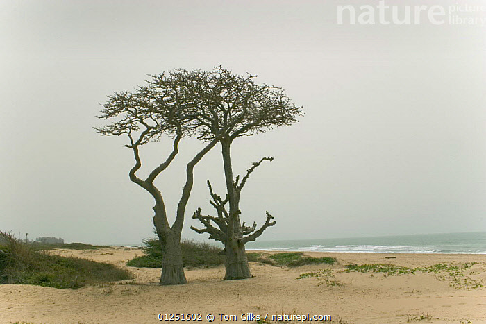Baobab trees {Adansonia sp.} growing on coast, Kafountine, Senegal. April 2008.  ,  AFRICA,BEACHES,COASTS,DICOTYLEDONS,MALVACEAE,PLANTS,TWO,WEST AFRICA  ,  Tom Gilks