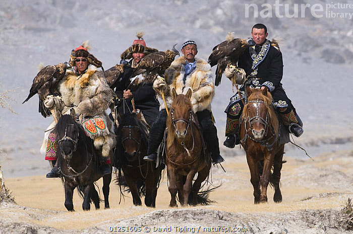 Eagle hunters with golden eagles (Aquila chrysaetos) on route to the Eagle Hunters festival near Ulgii Western Mongolia, October 2009. Winner of the Indigenous Cultures Award in Nature's Best Competition October 2009. NOT AVIALABLE FOR USE ON BOOK COVER.  ,  ASIA,BIRDS,BIRDS OF PREY,EAGLES,FALCONRY,FOUR,FUR,HORSES,HUNTING,MOUNTAINS,PEOPLE,RIDERS,RIDING,TRADITIONAL,TRIBES,VERTEBRATES  ,  David Tipling