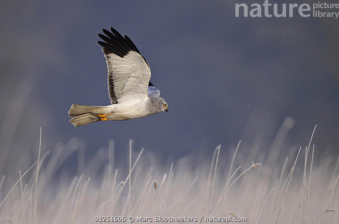 Hen harrier male (Cirus cyaneus) flying, hunting for mice, Kalmthoutse Heide Nature Reserve, Flanders. Veolia Environnement Wildlife Photographer of the Year 2009: Birds Behaviour category: Highly Commended.  ,  ACTION,AWARDS,BEHAVIOUR,BIRDS,BIRDS OF PREY,EUROPE,FLYING,HARRIERS,MALES,PREDATION,PROFILE,VERTEBRATES,WINTER Awards award-winning, competition  ,  Marc Slootmaekers