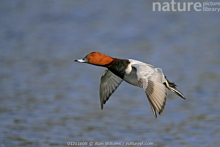 European pochard (Aythya ferina) male in flight, Norfolk, UK, February  ,  BIRDS,duck,DUCKS,EUROPE,FLYING,MALES,UK,VERTEBRATES,WATER,WATERFOWL, United Kingdom  ,  Alan Williams