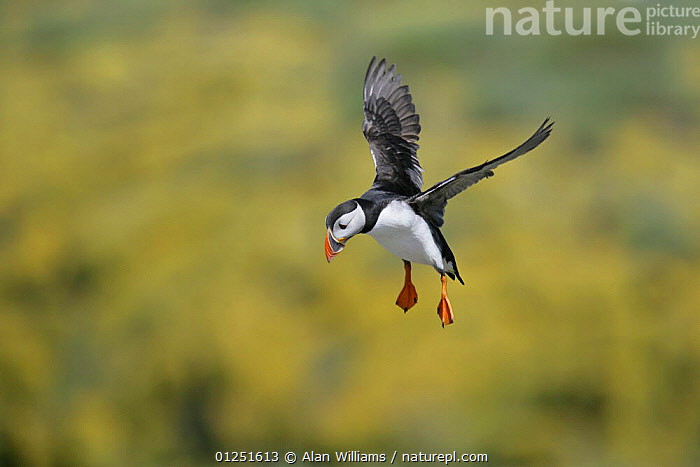 Puffin (Fratercula arctica) flying with feet down, landing, Farne Islands, Northumberland, UK, June  ,  atlantic puffin,AUKS,BEHAVIOUR,BIRDS,COASTS,EUROPE,FLYING,LANDING,RESERVE,SEABIRDS,UK,VERTEBRATES,VERTICAL, United Kingdom  ,  Alan Williams