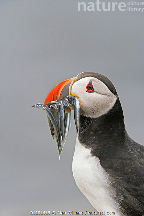 Puffin (Fratercula arctica) portrait with beak full of sand eels, Farne Islands, Northumberland, UK, June  ,  atlantic puffin,AUKS,BIRDS,COASTS,EUROPE,FEEDING,FISH,PORTRAITS,PROFILE,RESERVE,SEABIRDS,UK,VERTEBRATES,VERTICAL, United Kingdom  ,  Alan Williams