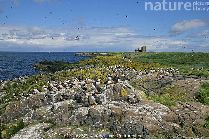 Breeding colony of Puffin (Fratercula arctica) on west side of Staple Island, Farne Islands, Northumberland, UK, June 2005  ,  atlantic puffin,AUKS,BIRDS,COASTS,EUROPE,FLOCKS,GROUPS,LANDSCAPES,RESERVE,SEABIRDS,UK,VERTEBRATES, United Kingdom  ,  Alan Williams