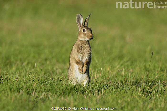 European rabbit (Oryctolagus cuniculus) sitting up in meadow on alert, Essex, UK, June  ,  BEHAVIOUR,EUROPE,lagomorphs,listening,MAMMALS,RABBITS,UK,VERTEBRATES,VERTICAL, United Kingdom  ,  Alan Williams