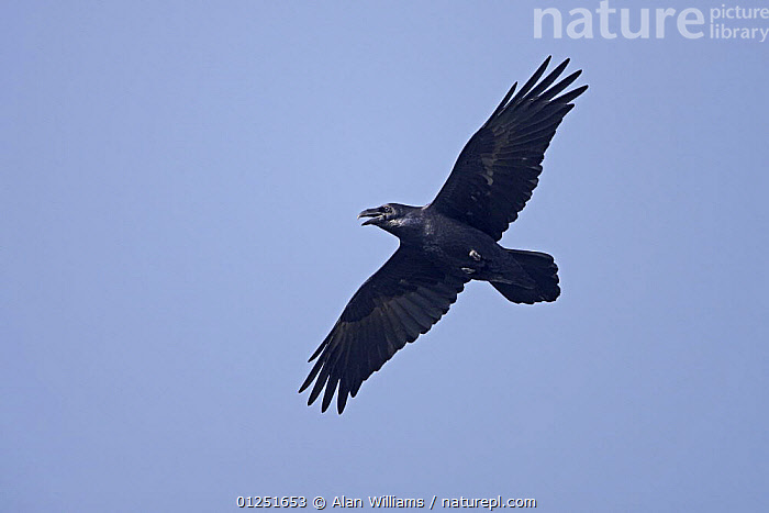 Common raven (Corvus corax) calling, in flight, South Stack, Anglesey, Wales, UK, September  ,  BIRDS,CROWS,CUTOUT,EUROPE,FLYING,LOW ANGLE SHOT,UK,VERTEBRATES,VOCALISATION,WALES, United Kingdom  ,  Alan Williams