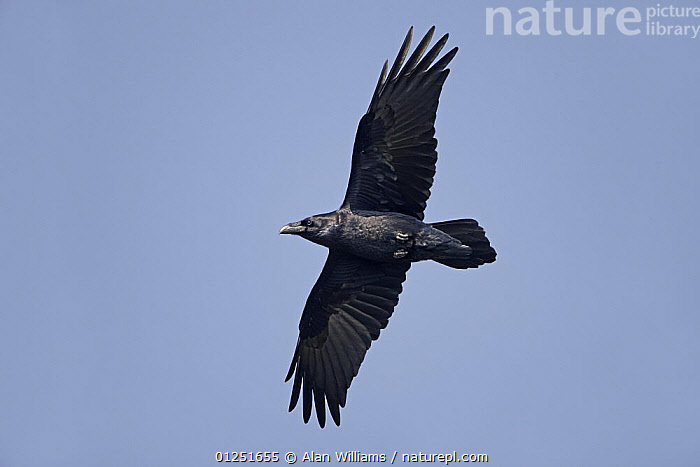 Common raven (Corvus corax) in flight, South Stack, Anglesey, Wales, UK, September  ,  BIRDS,CROWS,CUTOUT,EUROPE,FLYING,LOW ANGLE SHOT,UK,VERTEBRATES,WALES, United Kingdom  ,  Alan Williams