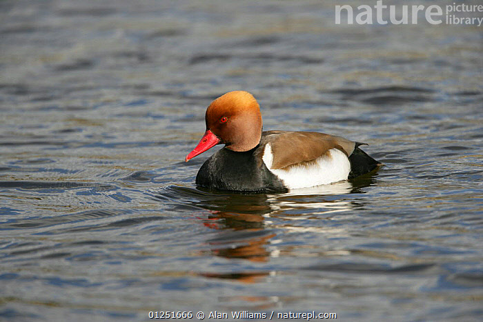 Red crested pochard (Netta rufina) male on water, feral bird, introduced species, Norfolk, UK, March  ,  BIRDS,duck,DUCKS,EUROPE,MALES,RESERVE,UK,VERTEBRATES,WATER,WATERFOWL, United Kingdom  ,  Alan Williams