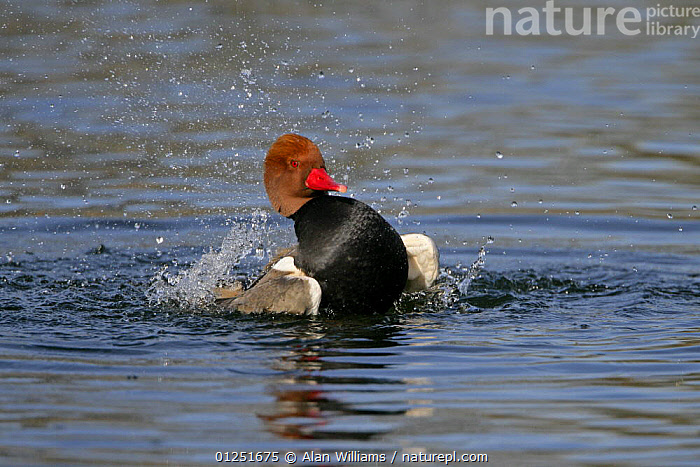 Red crested pochard (Netta rufina) male bathing, feral bird, introduced species, Norfolk, UK, March  ,  BATHING,BEHAVIOUR,BIRDS,duck,DUCKS,EUROPE,MALES,RESERVE,UK,VERTEBRATES,WATER,WATERFOWL, United Kingdom  ,  Alan Williams