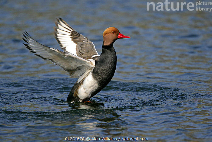 Red crested pochard (Netta rufina) male flapping wings on water, feral bird, introduced species, Norfolk, UK, March  ,  BEHAVIOUR,BIRDS,duck,DUCKS,EUROPE,MALES,RESERVE,UK,VERTEBRATES,VERTICAL,WATER,WATERFOWL, United Kingdom  ,  Alan Williams