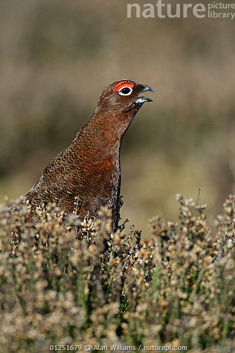 Red grouse (Lagopus lagopus) male calling on 