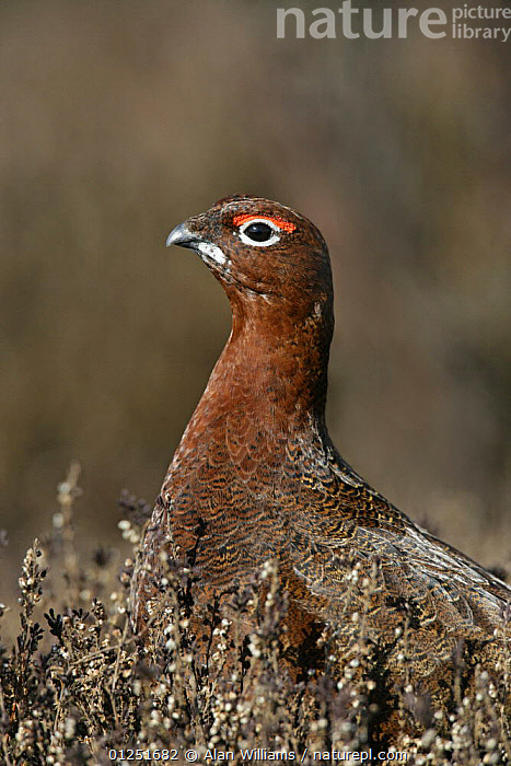 Red grouse (Lagopus lagopus) male on 