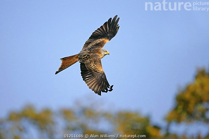 Red kite (Milvus milvus) in flight, Wales, UK, October  ,  BEHAVIOUR,BIRDS OF PREY,EUROPE,FLYING,KITES,LOW ANGLE SHOT,UK,VERTEBRATES,WALES, United Kingdom  ,  Alan Williams