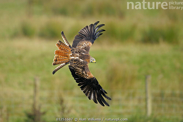 Red kite (Milvus milvus) in flight, diving to pick up food from the ground, Wales, UK, October  ,  BEHAVIOUR,BIRDS OF PREY,EUROPE,FEEDING,FLYING,KITES,UK,VERTEBRATES,WALES, United Kingdom  ,  Alan Williams