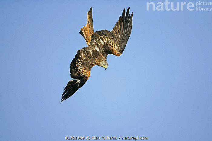 Red kite (Milvus milvus) in flight, diving to pick up food from the ground, Wales, UK, October  ,  BEHAVIOUR,BIRDS OF PREY,DIVING,EUROPE,FLYING,KITES,LOW ANGLE SHOT,UK,VERTEBRATES,WALES, United Kingdom  ,  Alan Williams