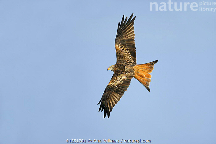Red kite (Milvus milvus) soaring in flight, Wales, UK, October  ,  BEHAVIOUR,BIRDS OF PREY,EUROPE,FLYING,KITES,LOW ANGLE SHOT,UK,VERTEBRATES,VERTICAL,WALES, United Kingdom  ,  Alan Williams