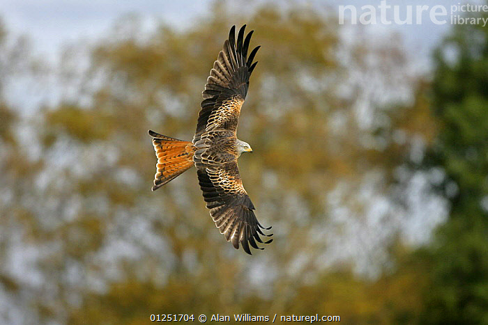 Red kite (Milvus milvus) turning in flight, Wales, UK, October  ,  BEHAVIOUR,BIRDS OF PREY,EUROPE,FLYING,KITES,UK,VERTEBRATES,WALES, United Kingdom  ,  Alan Williams