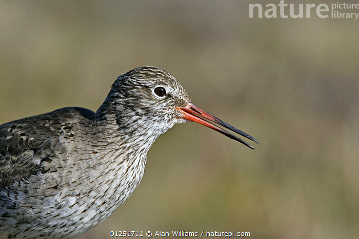 Redshank (Tringa totanus) alarm calling on moorland breeding territory, Yell, Shetland Islands, Scotland, UK, June  ,  BEHAVIOUR,BIRDS,COASTS,EUROPE,PORTRAITS,PROFILE,SCOTLAND,UK,VERTEBRATES,VOCALISATION,WADERS, United Kingdom  ,  Alan Williams