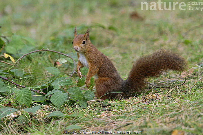 Red Squirrel (Sciurus vulgaris) on forest floor searching for food, Formby Red Squirrel reserve, Merseyside, UK, October  ,  EUROPE,MAMMALS,rodents,SQUIRRELS,UK,VERTEBRATES,WOODLANDS, United Kingdom  ,  Alan Williams