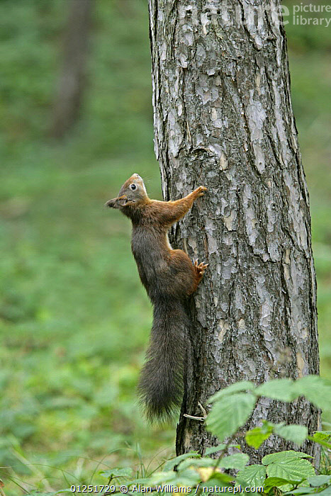 Red Squirrel (Sciurus vulgaris) climbing up tree trunk, Formby Red Squirrel reserve, Merseyside, UK, October  ,  CLIMBING,EUROPE,MAMMALS,rodents,SQUIRRELS,TRUNKS,UK,VERTEBRATES,VERTICAL,WOODLANDS, United Kingdom  ,  Alan Williams