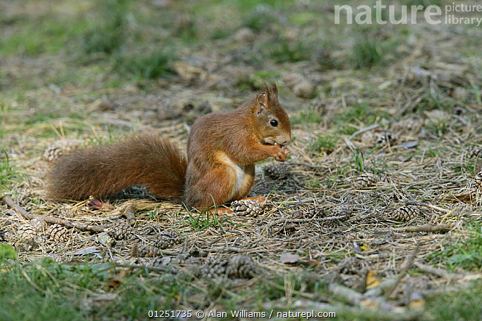 Red Squirrel (Sciurus vulgaris) feeding amongst pine cones on forest floor, Formby Red Squirrel reserve, Merseyside, UK, October  ,  BEHAVIOUR,CONES,EUROPE,FEEDING,MAMMALS,rodents,SQUIRRELS,UK,VERTEBRATES,WOODLANDS, United Kingdom  ,  Alan Williams