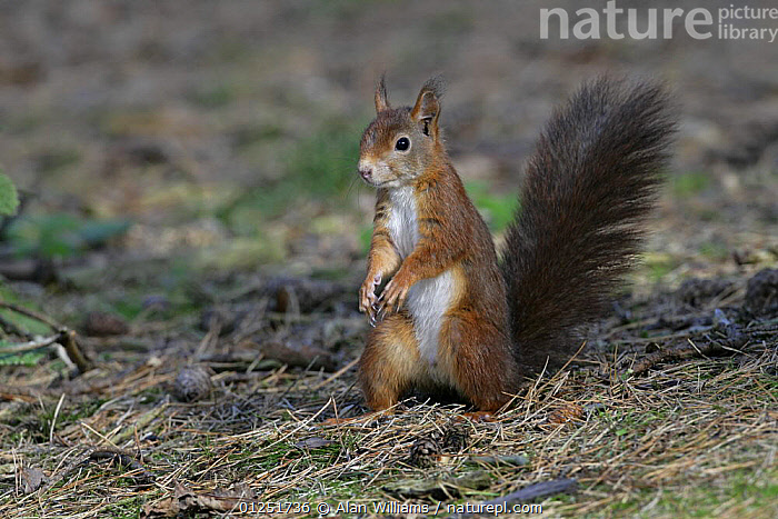 Red Squirrel (Sciurus vulgaris) on forest floor, Formby Red Squirrel reserve, Merseyside, UK, October  ,  EUROPE,MAMMALS,rodents,SQUIRRELS,UK,VERTEBRATES,WOODLANDS, United Kingdom  ,  Alan Williams