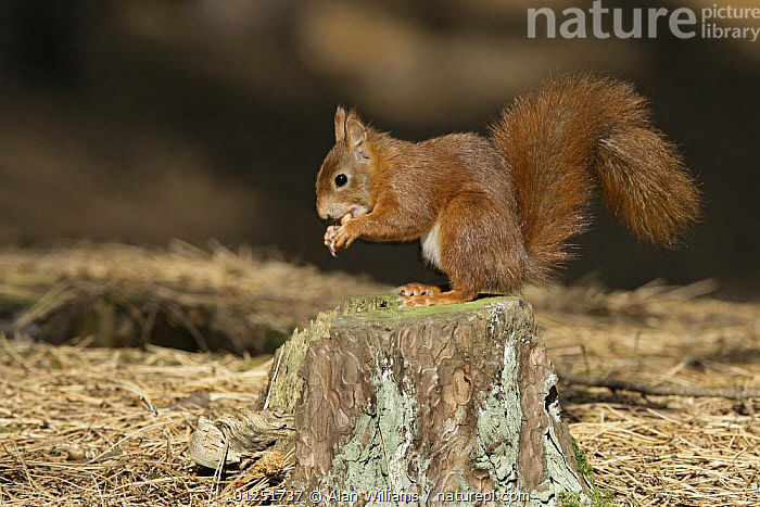 Red Squirrel (Sciurus vulgaris) sitting on stump feeding on nut, Formby Red Squirrel reserve, Merseyside, UK, October  ,  EUROPE,FEEDING,MAMMALS,PROFILE,rodents,SQUIRRELS,UK,VERTEBRATES,WOODLANDS, United Kingdom  ,  Alan Williams