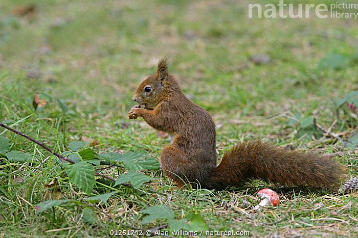 Red Squirrel (Sciurus vulgaris) feeding on the forest floor, Formby Red Squirrel reserve, Merseyside, UK, October  ,  EUROPE,FEEDING,MAMMALS,rodents,SQUIRRELS,UK,VERTEBRATES,WOODLANDS, United Kingdom  ,  Alan Williams