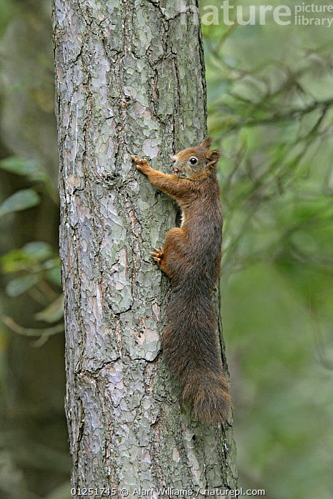 Red Squirrel (Sciurus vulgaris) climbing tree with nut in mouth, Formby Red Squirrel reserve, Merseyside, UK, October  ,  clmibing,EUROPE,MAMMALS,rodents,SQUIRRELS,TRUNKS,UK,VERTEBRATES,VERTICAL,WOODLANDS, United Kingdom  ,  Alan Williams
