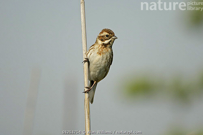 Reed bunting ( Emberiza schoeniclus) female perched on reed stem, Cliffe Marshes, Kent, UK, May  ,  BIRDS,BUNTINGS,EUROPE,FEMALES,reeds,UK,VERTEBRATES,VERTICAL, United Kingdom  ,  Alan Williams