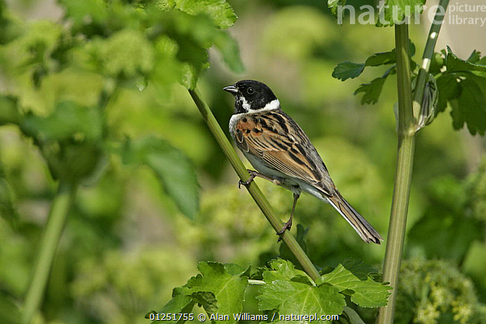 Reed bunting ( Emberiza schoeniclus) male perched, Cliffe Marshes, Kent, UK, May  ,  BIRDS,BUNTINGS,EUROPE,MALES,reeds,UK,VERTEBRATES, United Kingdom  ,  Alan Williams