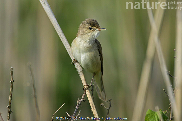 Reed warbler (Acrocephalus scirpaceus) perched on reed stem, Cliffe Marshes, Kent, May  ,  BIRDS,EUROPE,reeds,UK,VERTEBRATES,VERTICAL,WARBLERS, United Kingdom  ,  Alan Williams