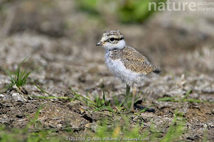 Ringed plover (Charadrius hiaticula) chick, Elmley Marshes, Kent, UK, May  ,  BABIES,BIRDS,CAMOUFLAGE,CHICKS,COASTS,EUROPE,PLOVERS,UK,VERTEBRATES,WADERS, United Kingdom  ,  Alan Williams