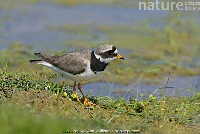 Ringed plover (Charadrius hiaticula) in marsh habitat, Elmley Marshes, Kent, UK, April  ,  BIRDS,COASTS,EUROPE,MARSHES,PLOVERS,UK,VERTEBRATES,WADERS,Wetlands, United Kingdom  ,  Alan Williams