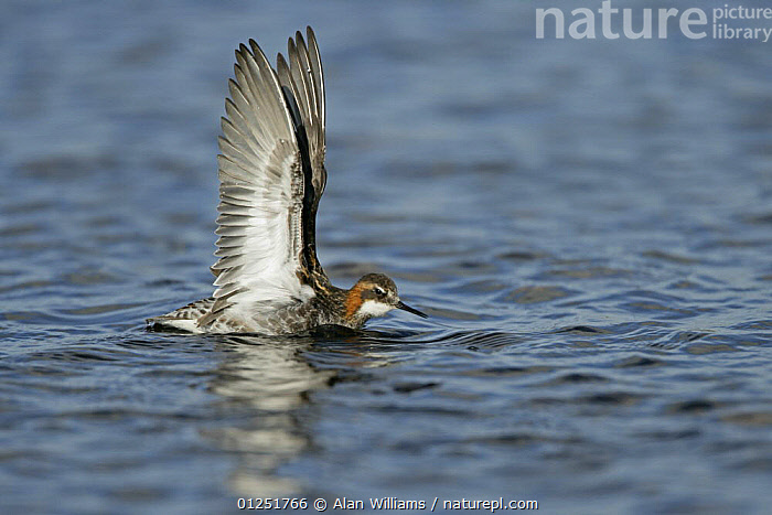 Red-necked / Northern phalarope (Phalaropus lobatus) male stretching wings, Fetlar, Shetland Islands, Scotland, UK, June  ,  BEHAVIOUR,BIRDS,EUROPE,PHALAROPES,red necked phalarope,SCOTLAND,UK,VERTEBRATES,VERTICAL,WATER,WINGS, United Kingdom  ,  Alan Williams
