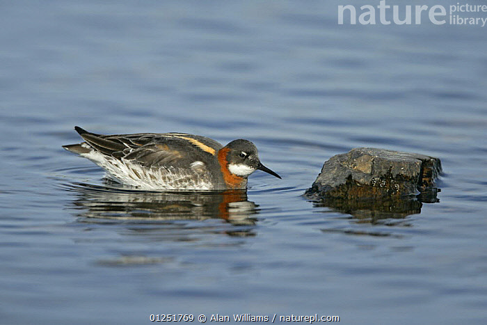 Red-necked / Northern phalarope (Phalaropus lobatus) female foraging for flies on rocks, Fetlar, Shetland Islands, Scotland, UK, June  ,  BIRDS,EUROPE,FEMALES,PHALAROPES,red necked phalarope,SCOTLAND,UK,VERTEBRATES,WATER, United Kingdom  ,  Alan Williams