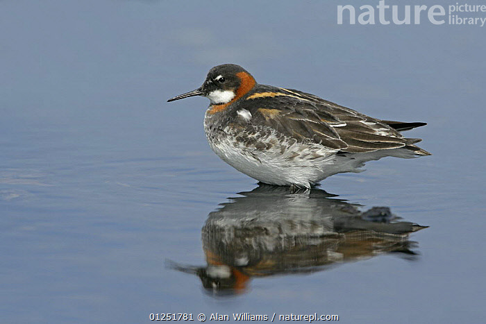 Red-necked / Northern phalarope (Phalaropus lobatus) female on loch, Fetlar, Shetland Islands, Scotland, UK, June  ,  BIRDS,EUROPE,FEMALES,PHALAROPES,red necked phalarope,REFLECTIONS,SCOTLAND,UK,VERTEBRATES,WATER, United Kingdom  ,  Alan Williams