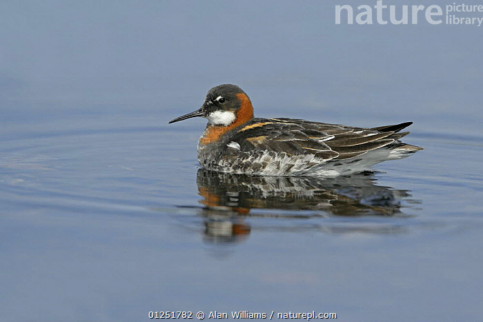 Red-necked / Northern phalarope (Phalaropus lobatus) female on loch, Fetlar, Shetland Islands, Scotland, UK, June  ,  BIRDS,EUROPE,FEMALES,PHALAROPES,red necked phalarope,SCOTLAND,UK,VERTEBRATES,WATER, United Kingdom  ,  Alan Williams