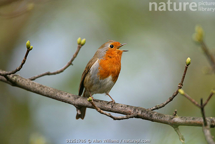 Robin (Erithacus rubecula) singing, perched in tree, Essex, UK, April  ,  BEHAVIOUR,BIRDS,chats,EUROPE,UK,VERTEBRATES,VOCALISATION, United Kingdom  ,  Alan Williams