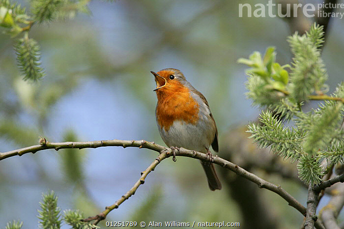 Robin (Erithacus rubecula) singing, perched in willow tree, Essex, UK, April  ,  BEHAVIOUR,BIRDS,chats,EUROPE,UK,VERTEBRATES,VOCALISATION, United Kingdom  ,  Alan Williams