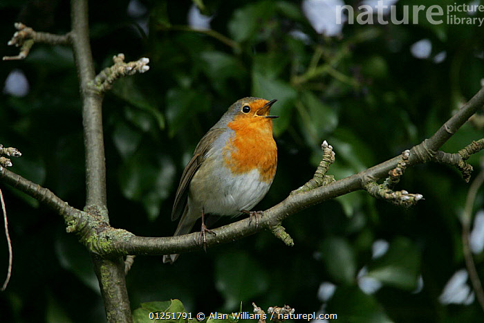 Robin (Erithacus rubecula) singing, perched in tree, Essex, UK, February  ,  BEHAVIOUR,BIRDS,chats,EUROPE,UK,VERTEBRATES,VOCALISATION, United Kingdom  ,  Alan Williams