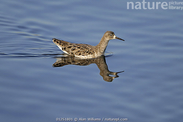 Ruff (Philomachus pugnax) male on water in winter plumage, Lancashire, UK, February  ,  BIRDS,COASTS,EUROPE,MALES,REFLECTIONS,SANDPIPERS,UK,VERTEBRATES,WADERS, United Kingdom  ,  Alan Williams